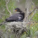 otropic Cormorant with Chicks (Phalacrocorax brasilianus), Smith Oaks Rookery, High Island, Texas