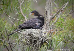 otropic Cormorant with Chicks (Phalacrocorax brasilianus), Smith Oaks Rookery, High Island, Texas