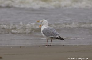 7304 Herring Gull (Larus argentatus), Bolivar Peninsula, Texas