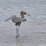 7309 Reddish Egret (Egretta refuscens), San Luis Pass, Galveston Island, Texas
