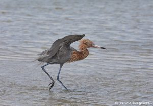 7310 Reddish Egret (Egretta refuscens), San Luis Pass, Galveston Island, Texas