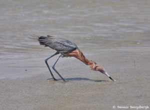 7311 Reddish Egret (Egretta refuscens), San Luis Pass, Galveston Island, Texas