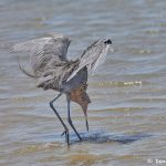 7313 Reddish Egret (Egretta refuscens), San Luis Pass, Galveston Island, Texas