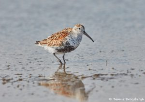 7315 Breeding Male Dunlin (Calidris alpina), San Luis Pass, Galveston Island, Texas