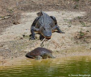 7316 Alligator and Softshell Turtle (Apalone spinifera) at Smith Oaks Rookery, High Island, Texas