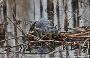 7318 Alligator, Anahuac NWR, Texas