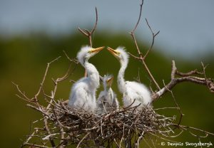 7319 Great Egret Chicks (Ardea alba). Smith Oaks Rookery, High Island, Texas