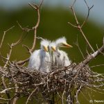 7320 Great Egret Chicks (Ardea alba). Smith Oaks Rookery, High Island, Texas