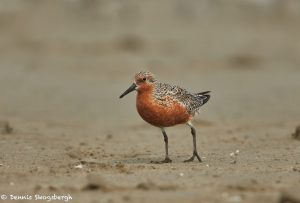 7324 Adult Breeding Red Knot (Calidris canutus), East Beach, Galveston, Texas