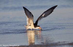 7339 Black Skimmer (Rynchops niger), San Luis Pass, Galveston, Texas