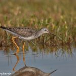 7342 Greater Yellowlegs (Tringa melanoleucea), East Beach, Galveston, Texas