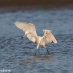 7343 Reddish Egret (White Morph) (Egretta rufescens), San Luis Pass, Galveston, Texas