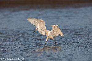 7343 Reddish Egret (White Morph) (Egretta rufescens), San Luis Pass, Galveston, Texas