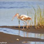 7345 White Ibis (Eudocimus albus) (First Summer), San Luis Pass, Galveston, Texas