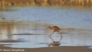 7346 Clapper Rail (Rallus longitostris), San Luis Pass, Galveston, Texas