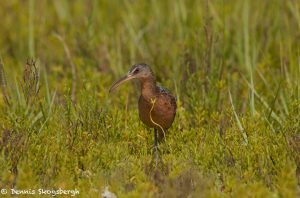 7349 Clapper Rail (Rallus longitostris), San Luis Pass, Galveston, Texas