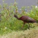 7353 Adult Breeding White-faced Ibis (Plegadis chihi), Anahuac NWR, Texas