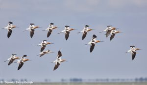 7357 Adult Breeding American Avocets (Recurvirostra americana), San Luis Pass, Galveston, Texas