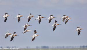 7357 Adult Breeding American Avocets (Recurvirostra americana), San Luis Pass, Galveston, Texas