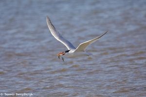 7359 Elegant Tern (Thalasseus elegans), San Luis Pass, Galveston, Texas, San Luis Pass, Galveston, Texas