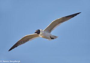 7360 Laughing Gull (Leucophaeus atricilla), San Luis Pass, Galveston, Texas