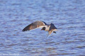 7361 Laughing Gull (Leucophaeus atricilla), San Luis Pass, Galveston, Texas