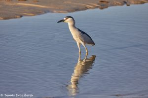 7366 Adult Black-crowned Night Heron (Nycticorax nycticorax), San Luis Pass, Galveston, Texas