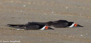 7368 Black Skimmers Asleep, San Luis Pass, Galveston, Texas 1