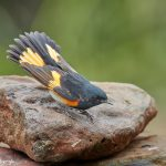 7369 American Redstart (Setophaga ruticilla), Galveston Island, Texas