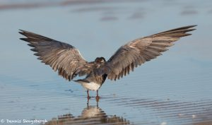 7373 Black Tern (Childonias niger), San Luis Pass, Galveston, Texas