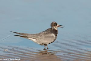 7374 Black Tern (Childonias niger), San Luis Pass, Galveston, Texas