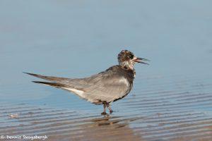 7374 Black Tern ((Chlidonias niger), San Luis Pass, Galveston, Texas