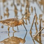 7380 Short-billed Dowitcher (Limnodromus griseus), Bolivar Peninsula, Texas