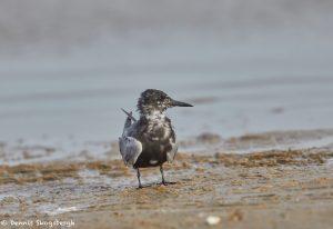 7382 Black Tern (Chlidonias niger), San Luis Pass, Galveston, Texas