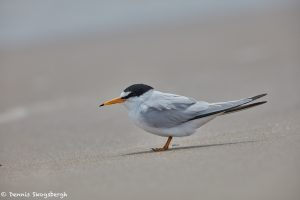7384 Least Tern (Sternula antillarum), Bolivar Peninsula, Texas