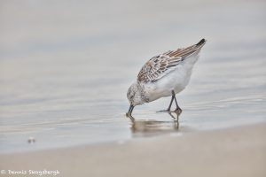 7385 Sanderling (Calidris alba), Bolivar Peninsula, Texas