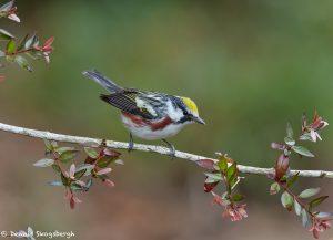 7387 Chestnut-sided Warbler (Setophaga pensylvanica), Galveston Island, Texas