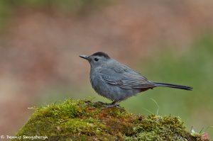 7393 Gray Catbird (Dumetella carolinensis), Galveston Island, Texas