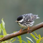 7400 Adult Male Blackpoll Warbler (Setophaga striata), Galveston Island, Texas