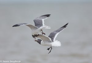 7411 Laughing Gulls Fighting Over Squid, Galveston Island, Texas