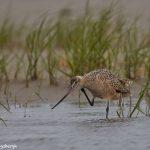 7412 Marbled Godwit (Limosa fedoa), Galveston Island, Texas