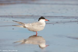 7415 Common Tern (Sterna hirundo), Galveston Island, Texas