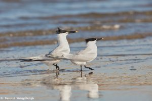 7417 Sandwich Terns (Thalasseus sandvicensis) Mating Ritual Dance, Galveston Island, Texas