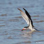 7419 Black Skimmer (Rynchops niger), Galveston Island, Texas