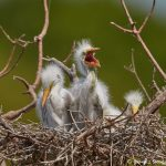 7422 Great Egret Chicks (Ardea alba), Smith Oak Rookery, High Island, Texas
