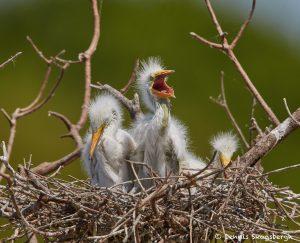 7422 Great Egret Chicks (Ardea alba), Smith Oak Rookery, High Island, Texas