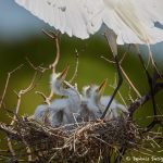 7423 Great Egret Chicks (Ardea alba), Smith Oak Rookery, High Island, Texas