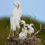 7424 Great Egret with Chicks (Ardea alba), Smith Oak Rookery, High Island, Texas
