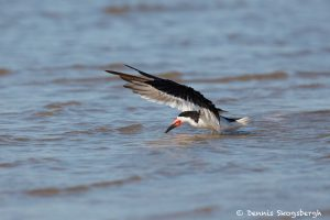 7426 Black Skimmer (Rynchops niger), Galveston Island, Texas