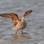 7429 Marbled Godwit (Limosa fedoa), Galveston Island, Texas